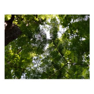 メタセコイア-夜明けレッドウッドの木 ポストカード