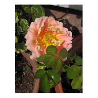 モモのばら色の花 ポストカード