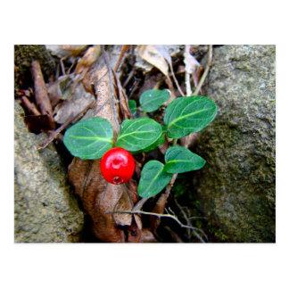 ヤマウズラの果実の野生の花 ポストカード