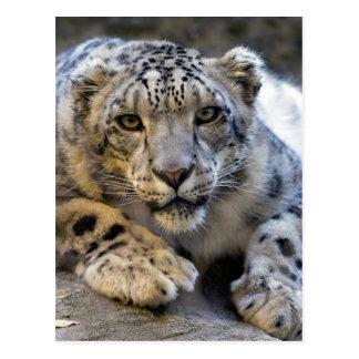 ユキヒョウの顔の写真 ポストカード