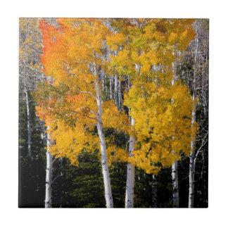 ユタ、米国。 《植物》アスペンの木(Populus Tremuloides) 3 タイル