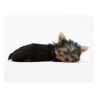 ヨークシャーテリアの子犬の睡眠 ポストカード