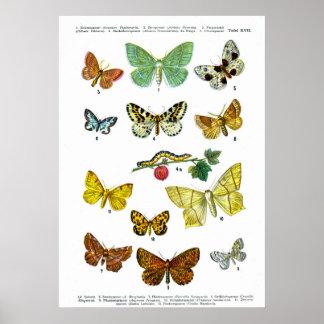 ヨーロッパの蝶(プレート17) ポスター