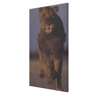 ライオンのランニング キャンバスプリント