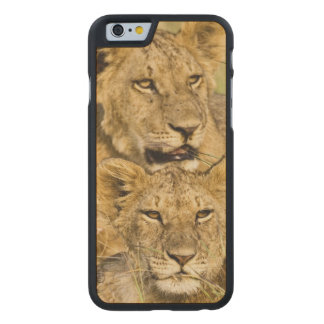 ライオンの子のグループ、ヒョウ属レオ、マサイ語マラ、 ケース