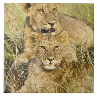 ライオンの子のグループ、ヒョウ属レオ、マサイ語マラ、 タイル