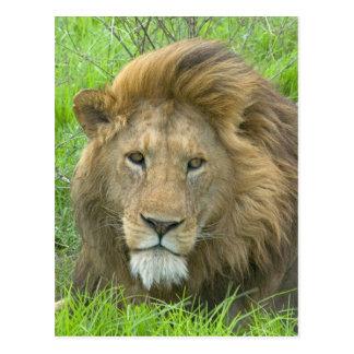 ライオンの男性のポートレート、東アフリカ、タンザニア、 ポストカード