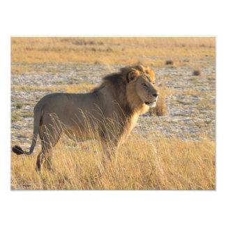 ライオンの男性13の写真の拡大 フォトプリント