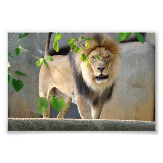 ライオンの野性生物ポスター6x4 フォトプリント