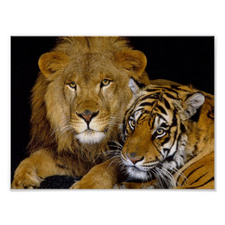 ライオン及びトラ ポスター