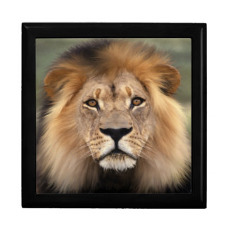 ライオン-ジャングルの王 ギフトボックス