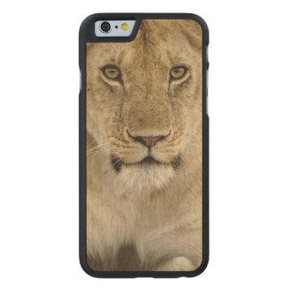 ライオン、ヒョウ属レオのSerengetiの国立公園、 ケース