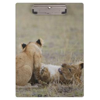 ライオン(ヒョウ属レオ)は草、マサイ語で遊ぶことをcubs クリップボード