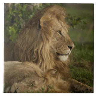 ライオン、ヒョウ属レオ、より低いマラ、マサイ語マラGR、 タイル