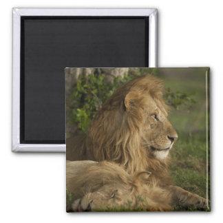 ライオン、ヒョウ属レオ、より低いマラ、マサイ語マラGR、 マグネット