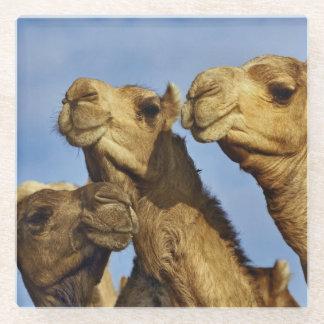 ラクダのトリオ、ラクダの市場、カイロ、エジプト ガラスコースター