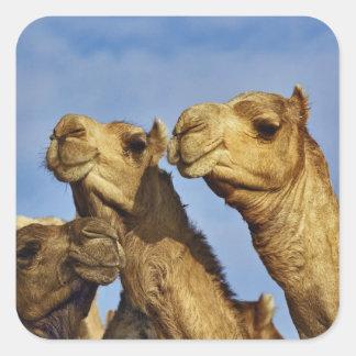 ラクダのトリオ、ラクダの市場、カイロ、エジプト スクエアシール