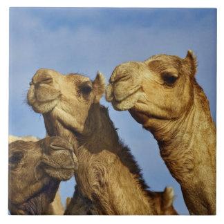 ラクダのトリオ、ラクダの市場、カイロ、エジプト タイル