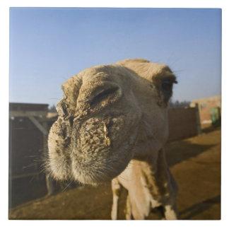 ラクダの市場、カイロ、エジプト タイル
