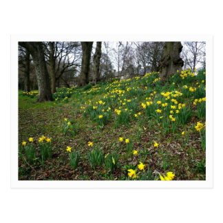 ラッパスイセン。 Sophiaの庭、カーディフ、ウェールズ。 イギリス ポストカード