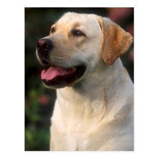ラブラドル・レトリーバー犬、Hiltonのポートレート ポストカード