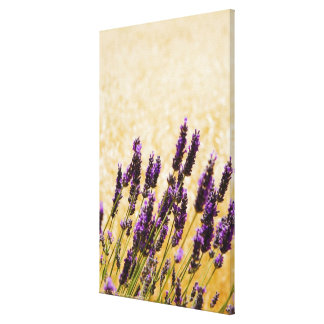 ラベンダーは分野、シエナの地域で開花します、 キャンバスプリント