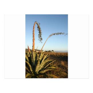 リュウゼツランのアメリカのアオノリュウゼツランのチリの海岸 ポストカード