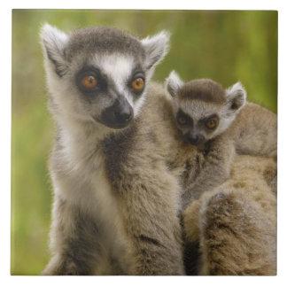 リング後につかれたlemurs (Lemurのcatta)母及び赤ん坊 タイル