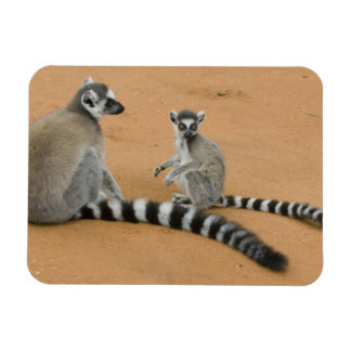 リング後につかれたLemurs、(Lemurのcatta)、Berenty マグネット