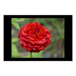 ルビー色の赤い《植物》百日草 ポスター