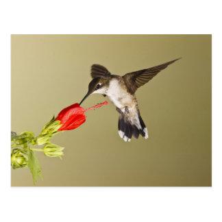 ルビーthroatedハチドリのArchilochus ポストカード