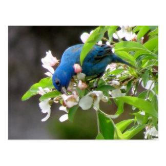 ルリノジコの食べ物を与えること-鳥 ポストカード
