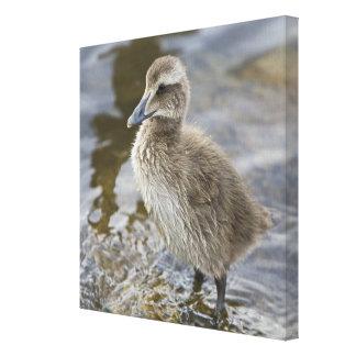 レイキャビク、アイスランドの池のEiderのひよこ キャンバスプリント