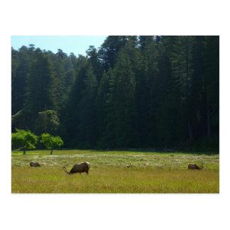 レッドウッドの国立公園のオオシカ草原 ポストカード