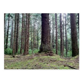 レッドウッドの木 ポストカード