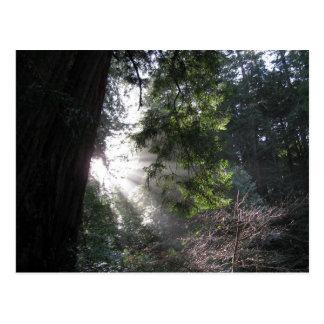 レッドウッドの森林を通って照る日光 ポストカード