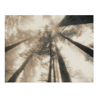 レッドウッドの森林、北カリフォルニア ポストカード