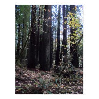 レッドウッドの秋 ポストカード