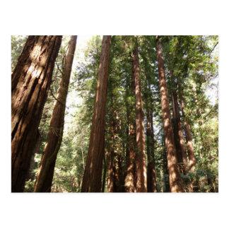 レッドウッドまでMuirの森の国有記念物のII ポストカード