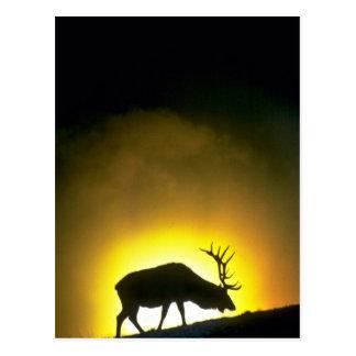 ロッキー山脈の雄牛のオオシカ、イエローストーン国立公園 ポストカード