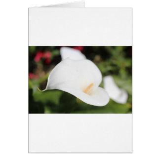 ロマンスオランダカイウLilly カード