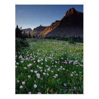 ローガンのパスの高山草原のFleabane、 ポストカード