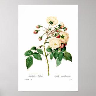 ローザのsemperflorens; アデレードのd'Orleans ポスター