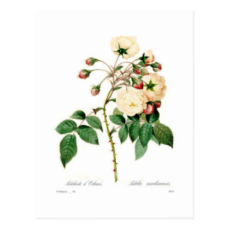 ローザのsemperflorens; アデレードのd'Orleans ポストカード