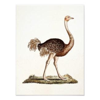 ヴィンテージのだちょうのイラストレーションのレトロの18世紀のだちょう フォトプリント