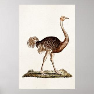ヴィンテージのだちょうのイラストレーションのレトロの18世紀のだちょう ポスター