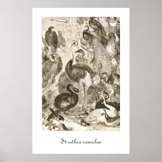 ヴィンテージのだちょうのイラストレーションのStruthioのcamelus ポスター