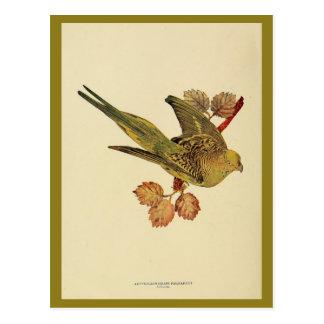 ヴィンテージのオーストラリアの草インコのカラー写真 ポストカード
