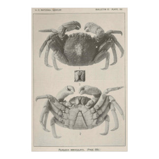ヴィンテージのカニの解剖学Photograph (1918年) ポスター