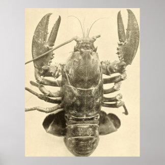 ヴィンテージのメインのロブスターの写真(1895年) 2 ポスター